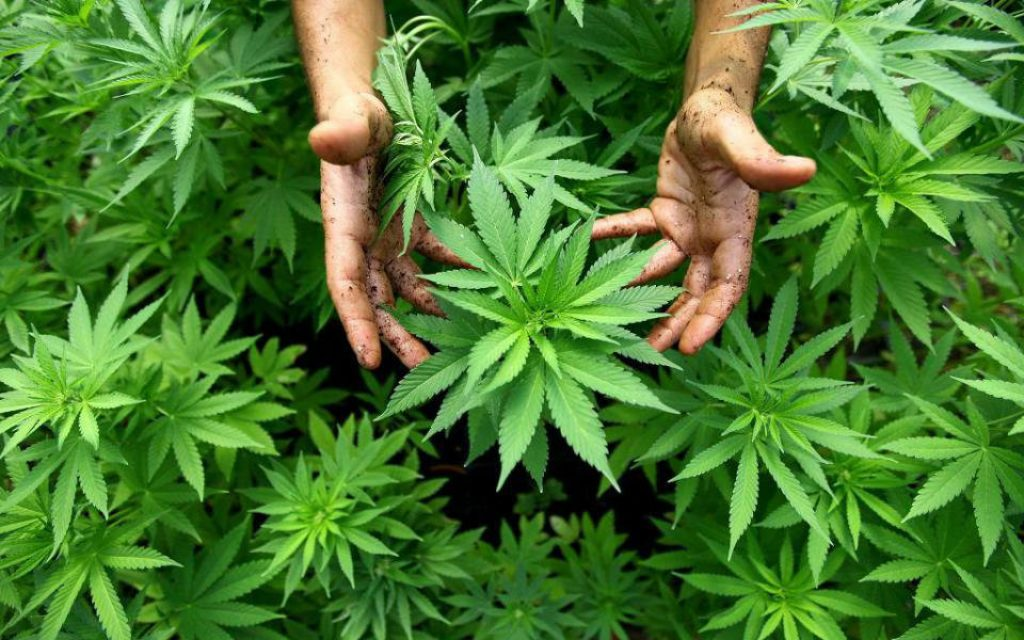 There are at least six investors interested in planting cannabis in Alqueva - O Jornal Econômico