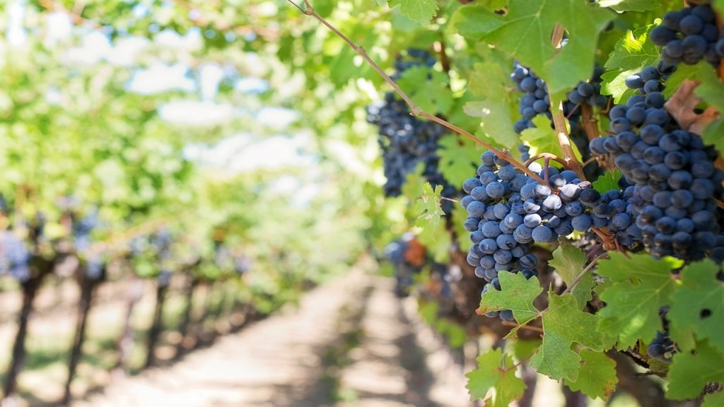 Government opens tenders of 5 million euros to support young winemakers - Diario diariOnline Região Sul