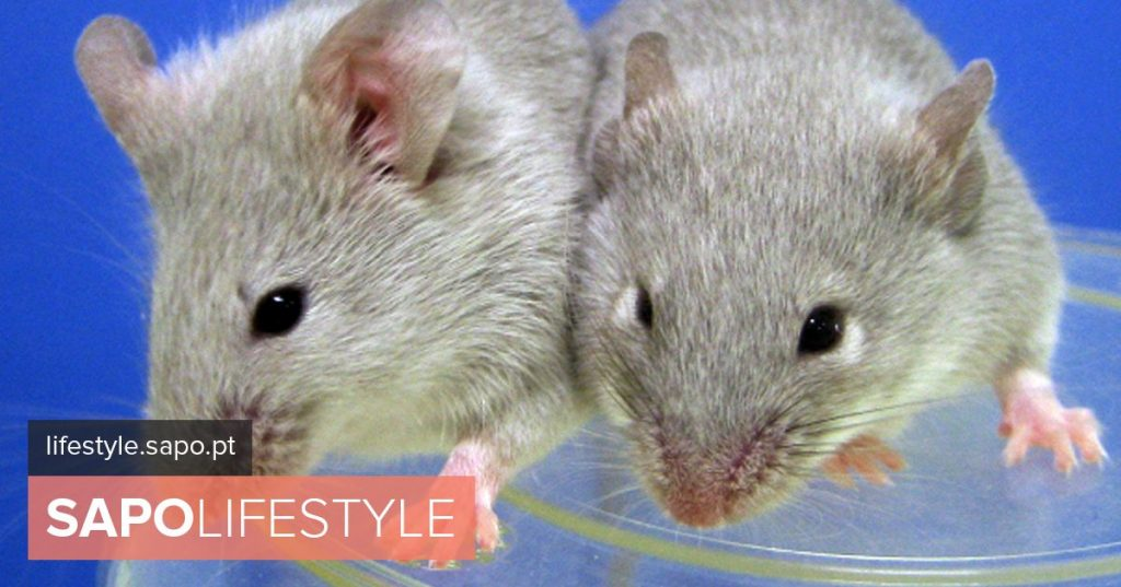 Researchers in Coimbra discovered in mice the importance of a gene in the development of autism - Current