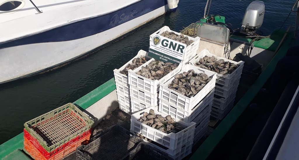 GNR seizes half a ton of oysters in Olhão for lack of traceability - Jornal diariOnline Southern Region